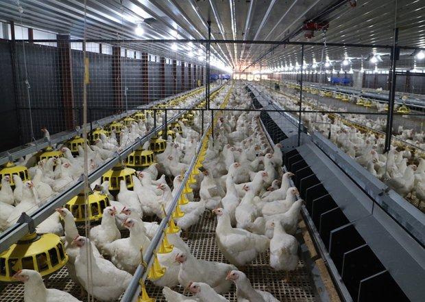 Automatic feeding system for poultry breeder farm